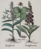 I. Herba Paris. II. Digitalis flori incarnato.